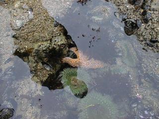 starfish and sea anemone