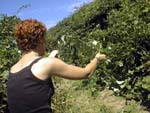 picking wild blackberries on nantucket