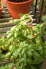 basil plant on fire escape