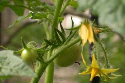 tomato plant on fire escape