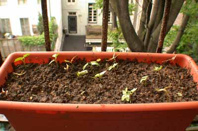 seedlings of cypress vine and morning glory