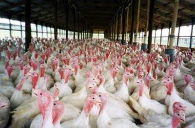Commercial Turkeys